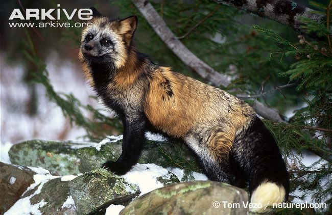 Red fox (North American subspecies) showing cross colour morph