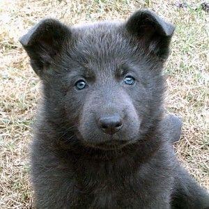 Blue German Shepherd Puppy Image-5