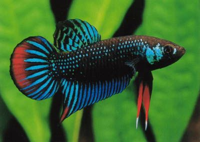 A wild betta! Aren't they beautiful? These are the beautiful fish that inspired betta keeping and breeding.