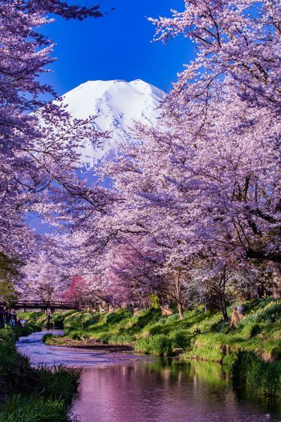 Mt.Fuji, Cherry Blossom.  HOST FAMILIES NEEDED for high school exchange students from Japan.  Contact OCEAN for more information.  Toll-Free: 1-888-996-2326; E-mail: mailto:info@ocean-intl.org; Web: h (Beauty Landscapes Nature)