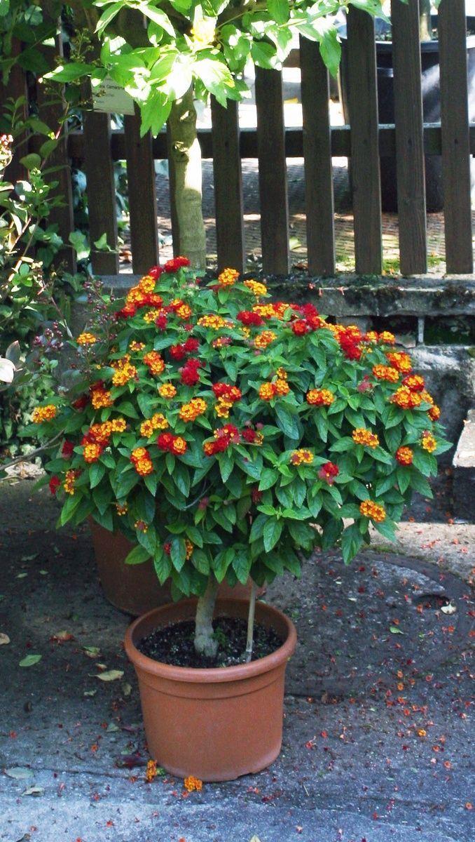 Kubelpflanzen Richtig Uberwintern Nicht Winterharte Kubelpflanzen M Winterharte Pflanzen Garten Kubelpflanzen Pflanzen