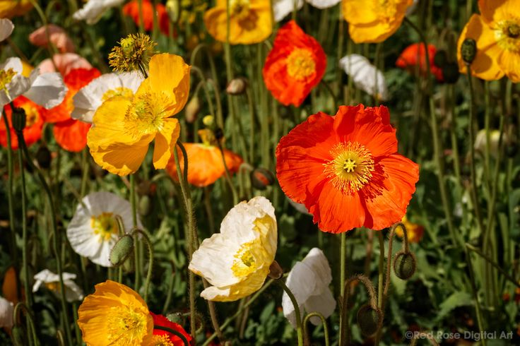 Poppies in the sun. Close-up of colourful orange and yellow poppies on a bright Spring day. Photographed by #redrosedigitalart. From http://www.redrosedigitalart.com