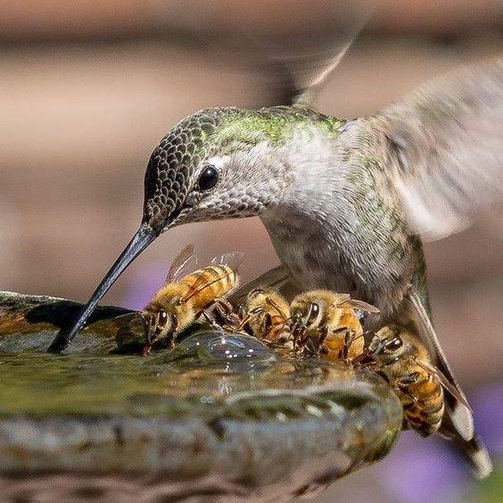 [Colibrí y abejas bebiendo juntos] » Hummingbird and bees gathered for a drink.