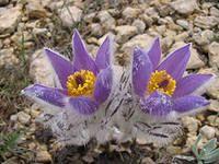 The pasque-flower.