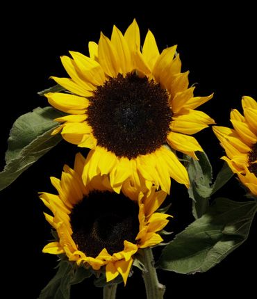 SUNFLOWER contains antioxidant, moisturizing and emollient actions. Protects hair color from UV radiation. Rich in oleic and linoleic acids, the sunflower has valuable nutritive, moisturizing and soothing properties. It protects the skin and the hair color from the damage caused by UV rays