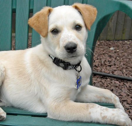 yellow lab mix puppies - photo #24