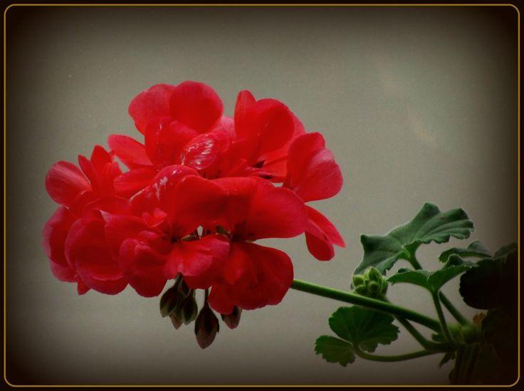 Красная герань-1