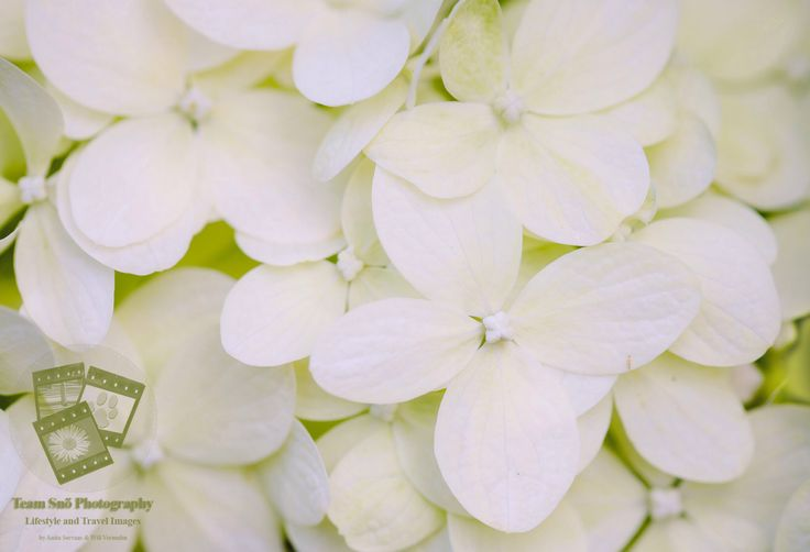 Witte Hortensia by Anita Pictures It!