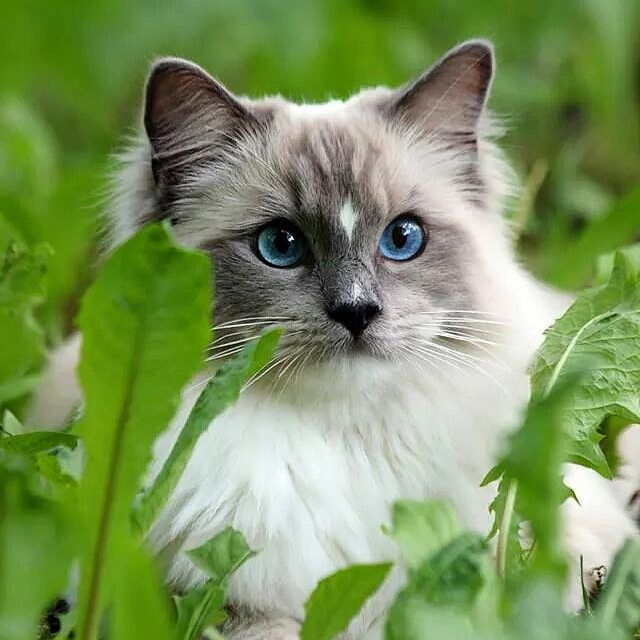 #nemo #catphotos #cats #photography #animalphotography #catphotography #ragdoll #ragdollcat #tattisphotos