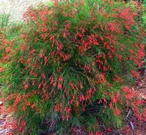 fire craker flower
