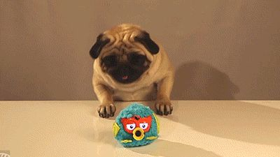 people melting gifs | 10 Pug GIFs That Will Instantly Melt Your Heart | Pets World