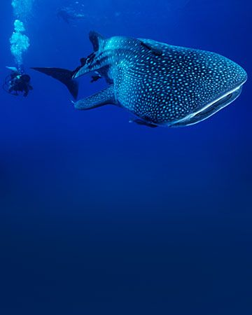 "Cool vacation idea.   ""Honduras  Head south for the Caribbean waters near Utila Island to swim with sharks (without a cage). You'll be hit with a rush of adrenaline, but never fear: whale sharks -- the world's largest fish -- are gentle giants ..."""