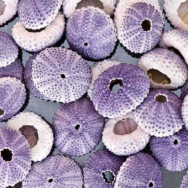 Sea Urchins ;) Have you ever seen such intricate workmanship and design? Like something on a wedding cake, but it weathers the pounding waves of the ocean and comes out like this!!!! Praise Jehovah for all that He has made.