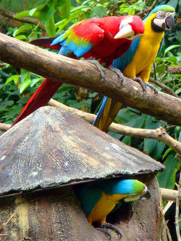 ~ Three Macaws, Safari Garden  ~ - Cisarua, Jawa Barat Indonesia by Daniel Edy Sukamto