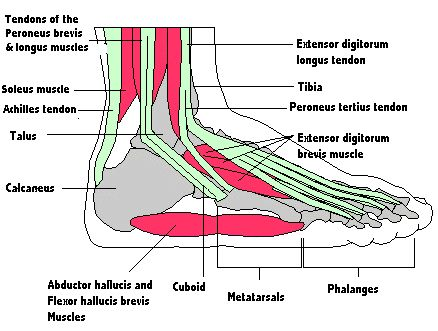 Foot muscles and tendons - Footmech podiatry