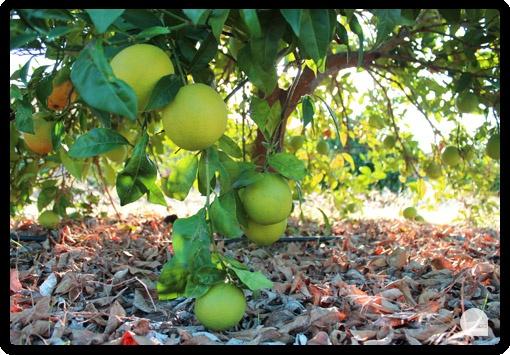 Naranjas navelinas en el momento que van cambiando de color, del verde intenso al naranja.