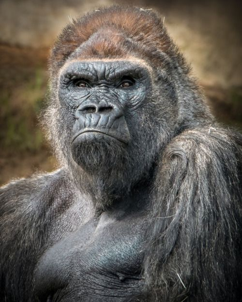 """Western lowland gorilla (Gorilla, gorilla, gorilla) called """"Winston"""". Born in 1972, this silverback is the leader of San Diego Zoo Safari Park's gorilla troop. He is also the father of our newest gorilla baby, Leslie. Photo: Helene Hoffman"""