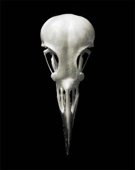 Silky Starling Bird Skull 8x10