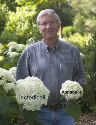 Incrediball Hydrangea is an improved form of Annabelle. Bigger flowers and while Annebelle often collapses by its weight Incrediball has stronger stems. 4-5 ft tall and wide.