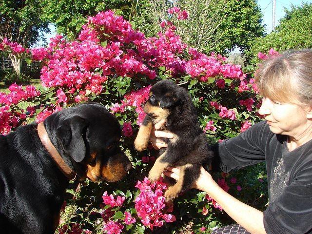 Cachorros Rottweiler en Venta Piribebuy Cachorros Rottweiler en Venta Cachorros Rottweiler en Venta Piribebuy HERMOSOS CACHORROS NACIDOS EL 27 DE NOVIEMBRE COLITA CORTADA Y DESPARASITADOS. Cachorros Rottweiler en Venta LISTOS PARA ENTREGAR A PARTIR DEL 28 DE DICIEMBRE. PADRES A LA VISTA en nuestra GRANJA. FOTOS REALES LLAME, SU CONSULTA NO MOLESTA 0982 – 637 …