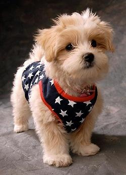 """I love 4th of July because...."" patriotic puppy! #SwimSpot #swimsuit www.SwimSpot.com"