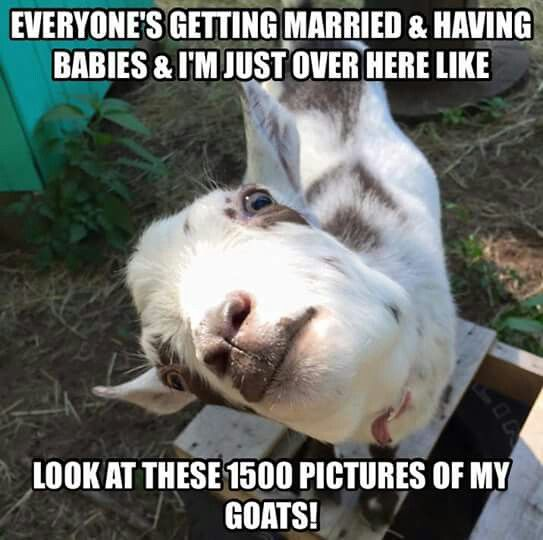 Funny Farm Animals Meme : Best images about goats on pinterest baby