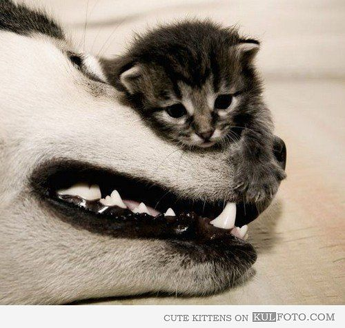 Kitten with big friend: Dogs Nose, Dogs And Cat, Best Friends, So Cute, Dogs Cat, Cute Kitty, Tiny Kittens, Big Dogs, Cute Kittens