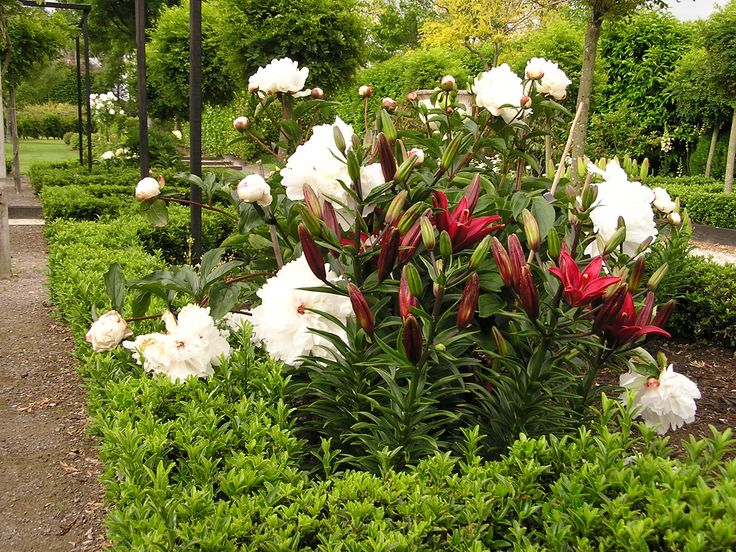 Paeony and red Asiatic lily