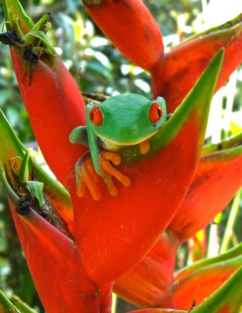 Guady Leaf Frog, Costa RicaAnimals Frogs