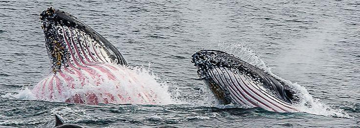 Humpback whales feeding off Eden. Photo: Sapphire Coast Tourism LTD