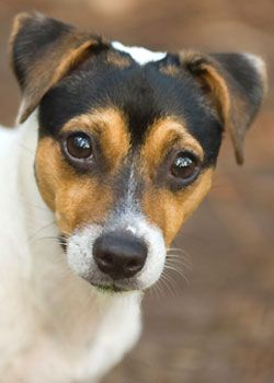 I have a jack russel terrier  & You should definitley get this type of dog Because they are loyal fun sweet silly smart beutiful And so many more things but tey are great loyal dogs You should definitley own this type of dog at least once !!! <3