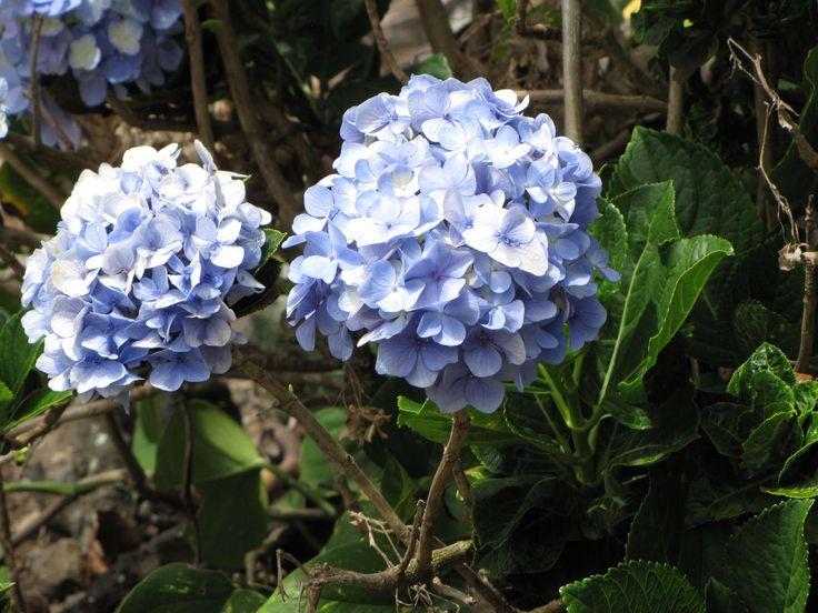 Hydrangea macrophylla - blaue Hortensie: Die schönsten Hortensien Sorten!