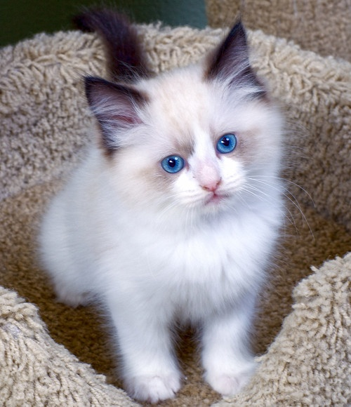 Ragdoll Or Siamese 13 best images ...