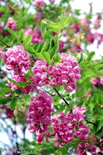 robinia Małgorzaty CASQUE ROUGE 'Pink Cascade' - Robinia ×margaretta CASQUE ROUGE 'Pink Cascade' | Katalog roślin - e-katalog roślin