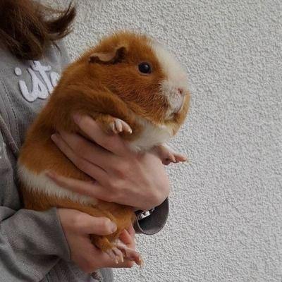 guinea pig | Tumblr