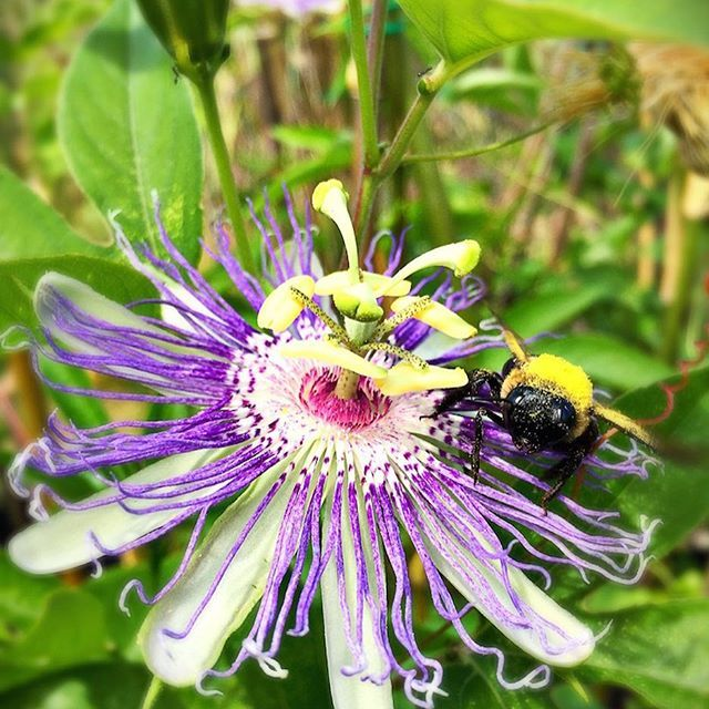 New To The Herbarium Plant Database Passionflower Passiflora Incarnata L Passionflower Is A Perennia Herbal Natural Homemade For The Homestead Herbs
