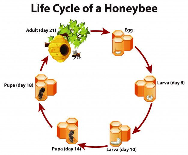 Download Diagram Showing Life Cycle Of Honeybee for free | Life cycles,  Vector free, LifePinterest