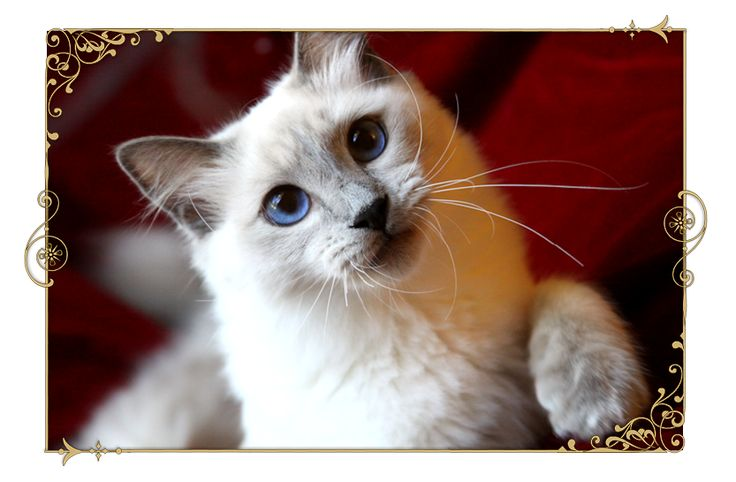 Traditional Siamese Cat Breeder Kittens For Sale Applehead Old