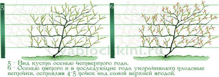 !!!формирование-лимонника-веерной-формой-3