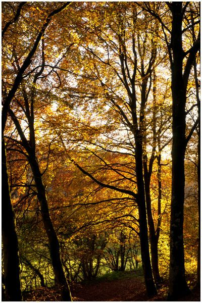 This picture is not about the tree's but those fiery copper golden brown leaves, the sun did it's end of day beaming from low down making the upper canopy glow, very few images are viable from the road traveled but this jumped out as i came round a bend in the road on my way to Lake Vyrnwy, had to turn round and shoot a few images.