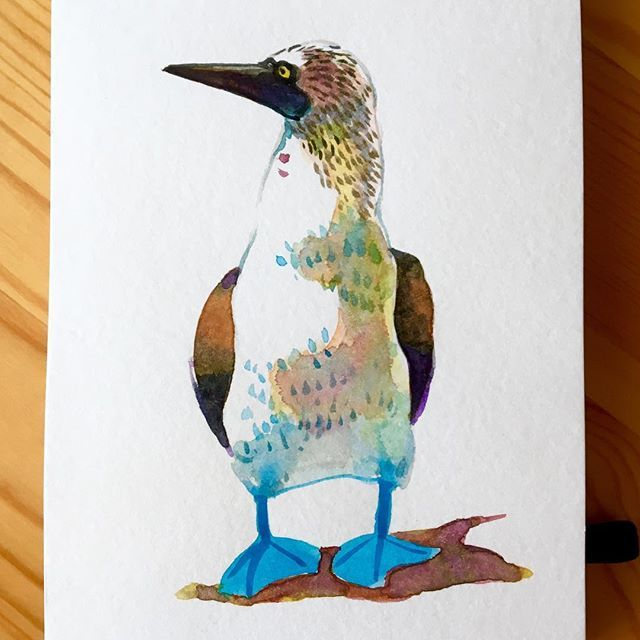 mayu_yama足青すぎな鳥 . #アオアシカツオドリ #bluefootedbooby #イラスト#水彩 #モレスキン #illustration #watercolor #moleskine2017/11/11 00:48:54