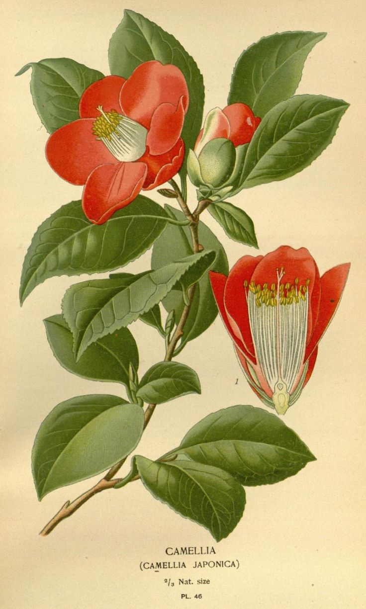 v. 1 - Favourite flowers of garden and greenhouse / - Biodiversity Heritage…