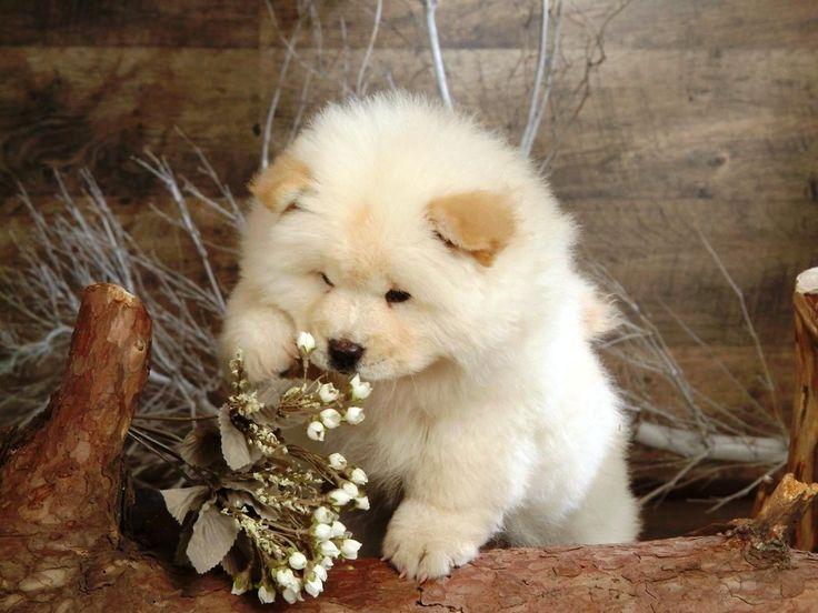 Собаки породы чау-чау (фото): своенравный домашний лев