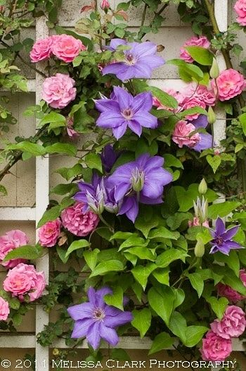 Classic combo: climbing clematis & rambling roses. [attempting to cover the ugly guardrail the highway people thought belonged in my front yard. alas, winter chemicals make keeping things there difficult. but this is still such a pretty idea. jh]