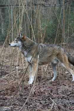 Are Red Wolves Worth the Trouble