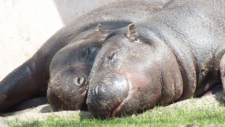 Mini nijlpaardjes