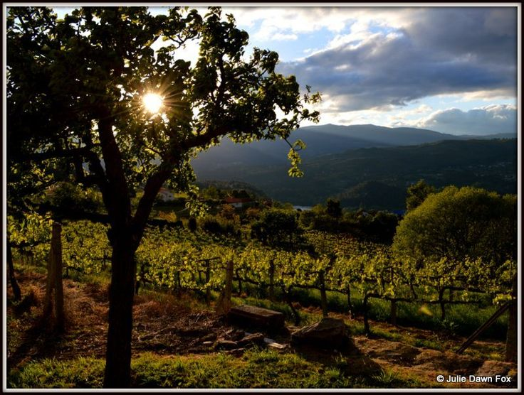 Vineyards, Casa da Calçada, Melgaço by by Julie Dawn Fox