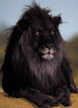 """A rare black lion. My understanding is that almost all large cats"