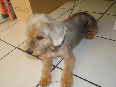 Rocco, un chien BICHONS sur POINTE A PITRE (97190),SOSTOUTOU, Le site d'adoption de chiens et chiots à adopter
