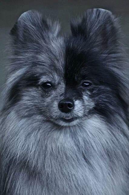 Pin by Dog Breeds on Blue Merle Pomeranian   Pinterest